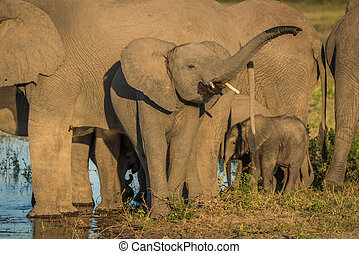 Young elephant raising trunk in golden light