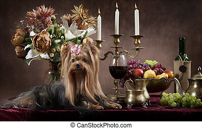 Yorkshire terrier dog - Purebred Yorkshire terrier dog with...