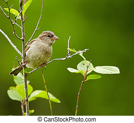 Female sparrow perched on a twig in a tree