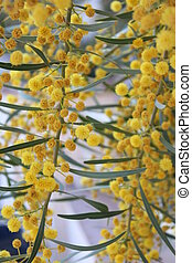Yellow Pom-Pom Blossom in Spring - Bright yellow ball-shaped...