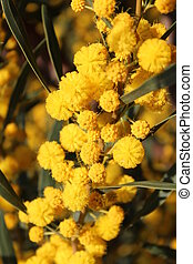 Yellow Pom-Pom Blossom in Spring. - Bright yellow...