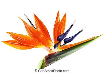 鳥, パラダイス, 花