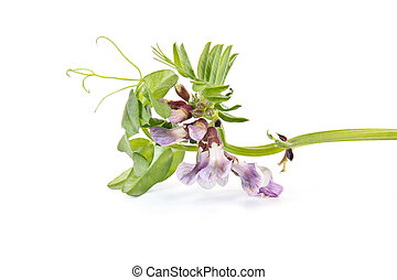 Vicia or vetches - Plant Vicia it is isolated on a white...