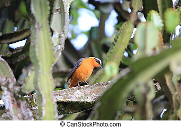 White-browed robin-chat (Cossypha heuglini) in Rwanda