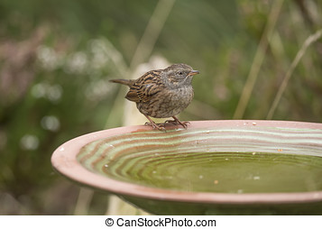 Dunnock, Prunella modularis, perched on a bird bath