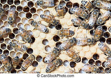 Nurse honey bees tend brood