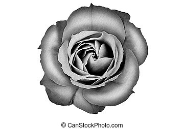 Halftone flower close up - Close up of halftone rose...