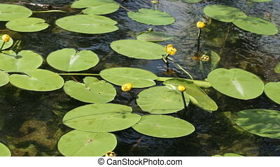 Water lily yellow summer - In river grows Water lily yellow