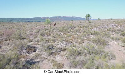 Following male deers running in the smoothness - Closeup of...