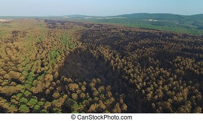 Burnt pine tree forest - Aerial view of burnt pine tree...