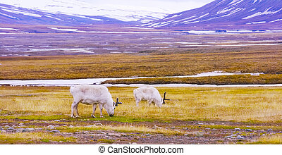 Reindeers eats grass at the plains of Svalbard - Reindeer...