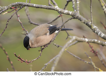 Bullfinch, female, perched on a branch, eating a flower
