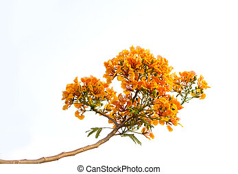 Orange flamboyant flower or Delonix regiaBojer isolated,...