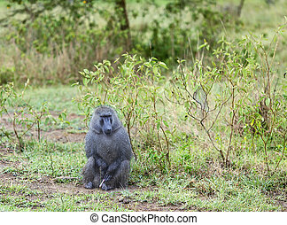Male Olive Baboon Papio anubis is sits with wet wool after...