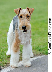 Fox Terrier dog - Close Fox Terrier dog in green summer...