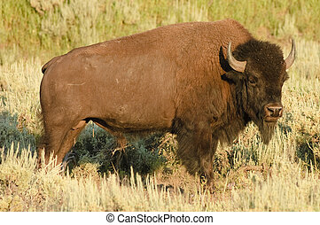 American Buffalo - American Bison on the plain