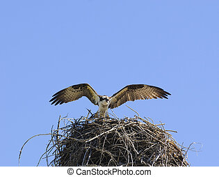Osprey arrivng at nest - Osprey arrivng at its nest with...