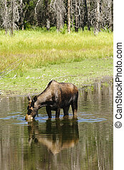 Cow Moose feeding - solitary cow moose feeding in a pond in...