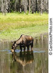 ko, Moose, matning