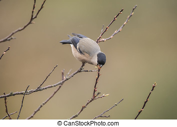 Bullfinch, female, perched on a branch, eating