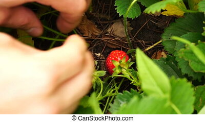 Footage young man gather strawberries in the garden HD video...