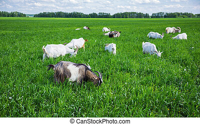 Herd of goats on a pasture - Herd of goats on a green...
