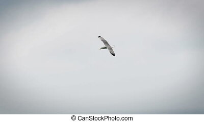 a seagull flying in the sky. It floats using the power of...