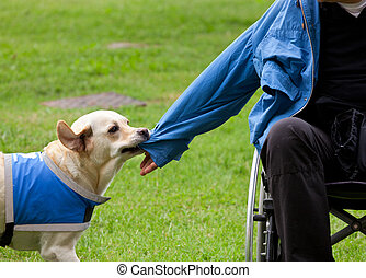 Dog removes the jacket to his disabled owner. - Labrador...