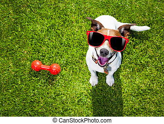 dog playing with toy or bone - happy jack russell terrier...