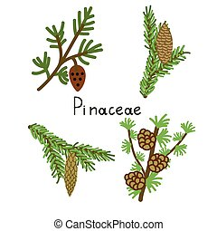 Pinaceae plants set - Pinaceae four vector plants set