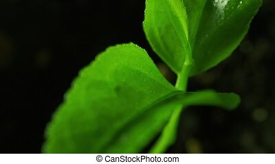 Small green sprout of orange tree macro pan shot