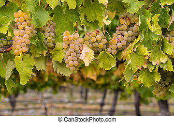 ripe chardonnay grapes in vineyard - closeup of ripe...