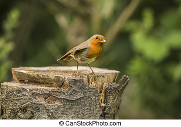 Robin on a tree stump with food in its beak