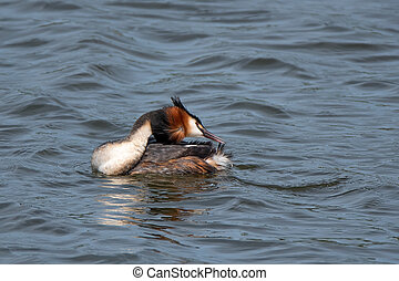 Great crested grebe or Podiceps cristatus swims on the water