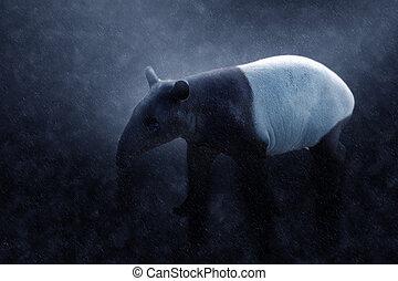 Malayan tapir in the rains. (tapirus indicus).