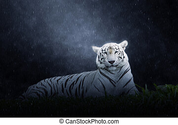 White tiger in the rains
