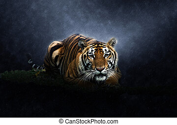 Bengal tiger in the rains