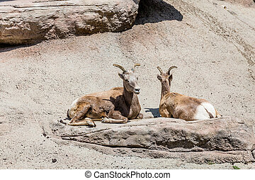 Two Mountain Sheep Resting in Sun