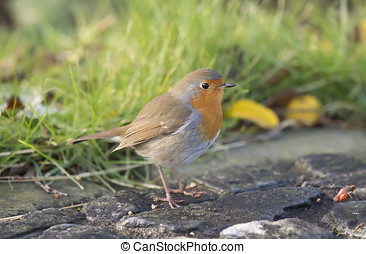 Robin, redbreast, Erithacus rubecula, standing on paving