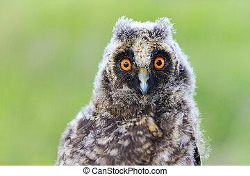 big eyes baby owls - big eyes baby owl, night bird flew off...