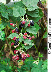 Blackberry Bush Growing Berries in fruit garden - Blackberry...