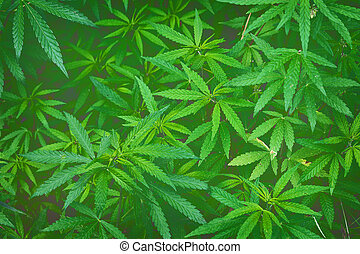 background with cannabis - green background with thickets of...
