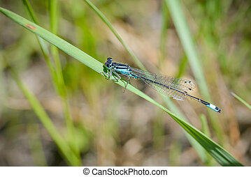 Blue Ischnura Elegans - The Blue Ischnura Elegans, also...