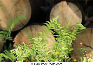 young green fern leaves growing amongst sawn tree trunks -...