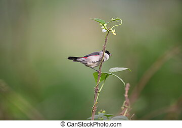 Black-headed Waxbill (Estrilda atricapilla) in Rwanda