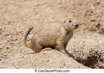 Ground squirrel also known as Spermophilus is guarding its...