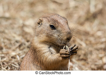 Ground squirrels also known as Spermophilus in its natural...