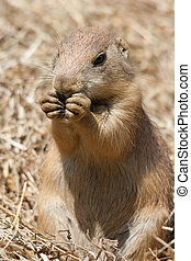 Ground squirrel also known as Spermophilus in its natural...