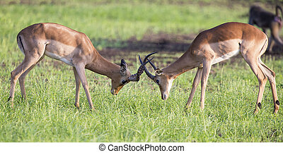Two male impala fight in for the herd with the best...