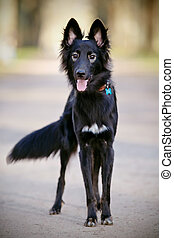 Black shaggy dog with a fluffy tail - The black not...